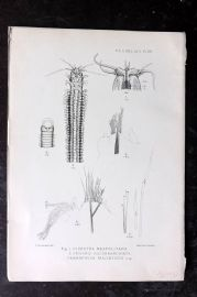 PZS 1903 Antique Print. Diopatra, Onuphis Worms